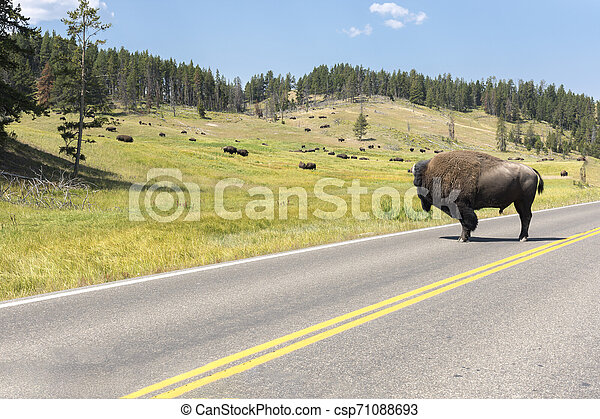 bison change the fur in Lamar Valley in Yellowstone National Park - csp71088693