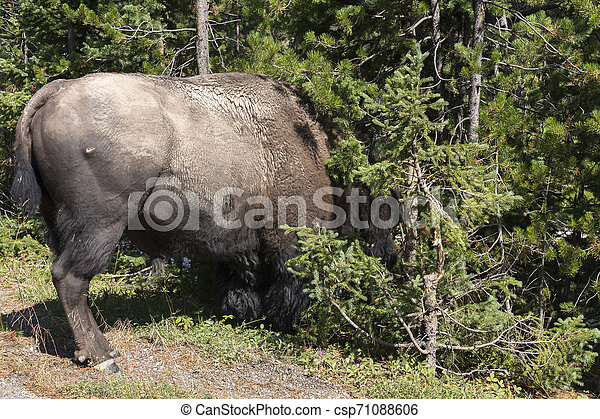 bison change the fur in Lamar Valley in Yellowstone National Park - csp71088606