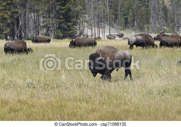 bison change the fur in Lamar Valley in Yellowstone National Park - csp71088135