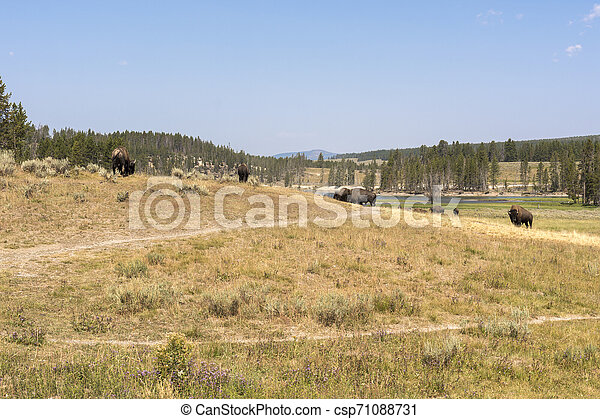 bison change the fur in Lamar Valley in Yellowstone National Park - csp71088731