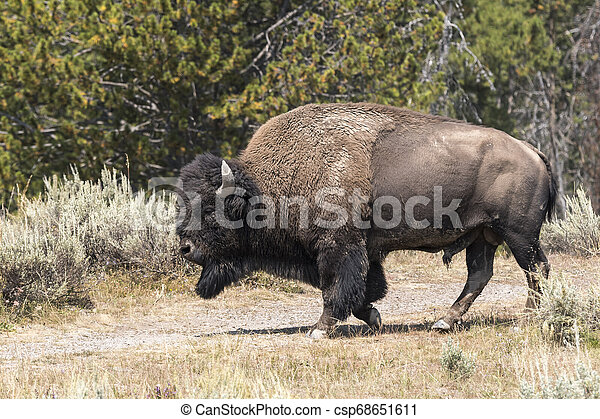 bison change the fur in Yellowstone National Park - csp68651611