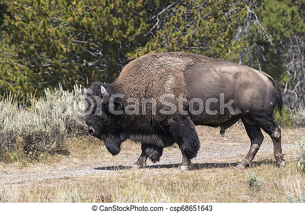 bison change the fur in Yellowstone National Park - csp68651643