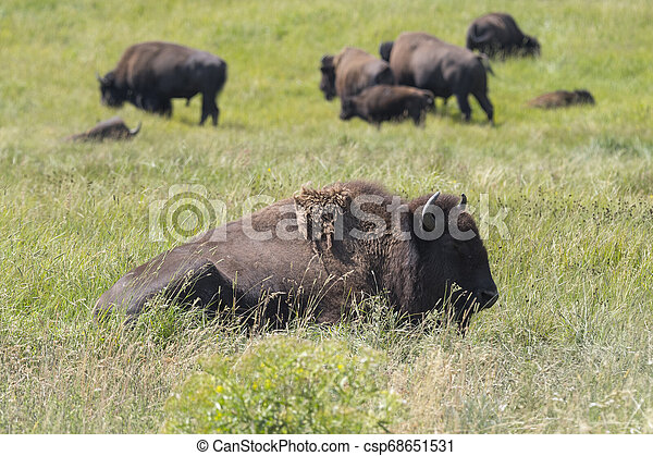 bison change the fur in Yellowstone National Park - csp68651531