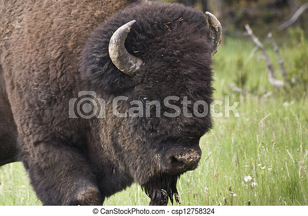 Bison Close Up - csp12758324