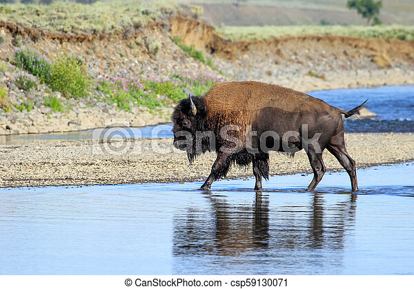 Bison crossing river in Lamar Valley, Yellowstone National Park, Wyoming - csp59130071
