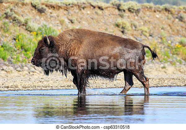 Bison crossing river in Lamar Valley, Yellowstone National Park, Wyoming - csp63310518