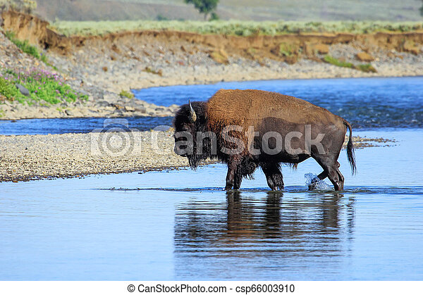 Bison crossing river in Lamar Valley, Yellowstone National Park, Wyoming - csp66003910
