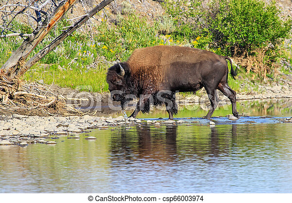 Bison crossing river in Lamar Valley, Yellowstone National Park, Wyoming - csp66003974