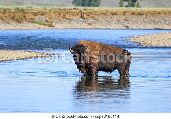 Bison crossing river in Lamar Valley, Yellowstone National Park, Wyoming - csp70185114