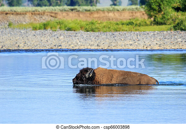 Bison crossing river in Lamar Valley, Yellowstone National Park, Wyoming - csp66003898