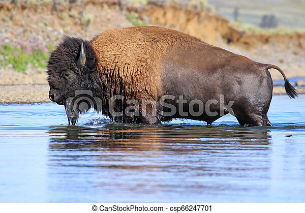 Bison crossing river in Lamar Valley, Yellowstone National Park, Wyoming - csp66247701