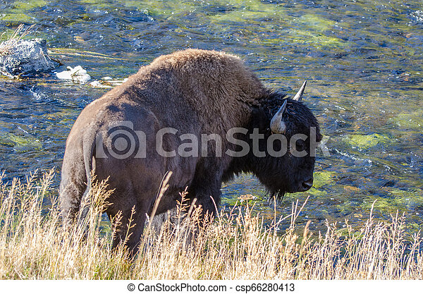 Bison drinking from the Firehole River in Yellowstone National Park - csp66280413