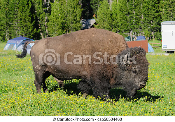 Bison grazing in Yellowstone - csp50504460