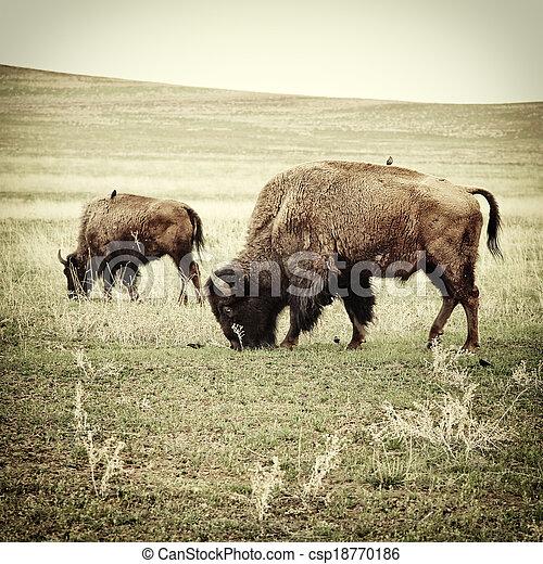 Bison grazing old photo - csp18770186