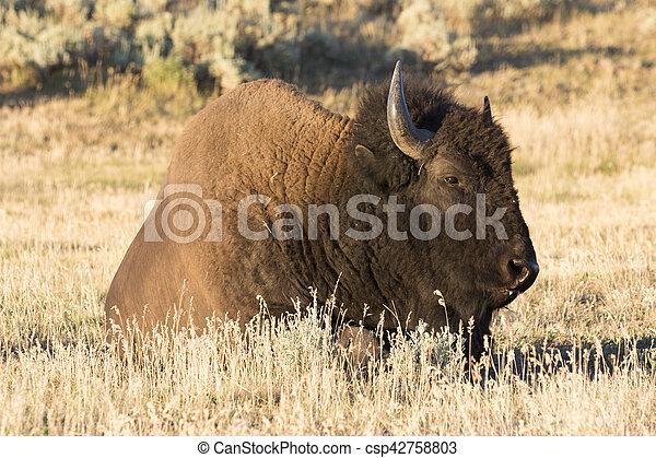 Bison in field of Hayden Valley of Yellowstone - csp42758803