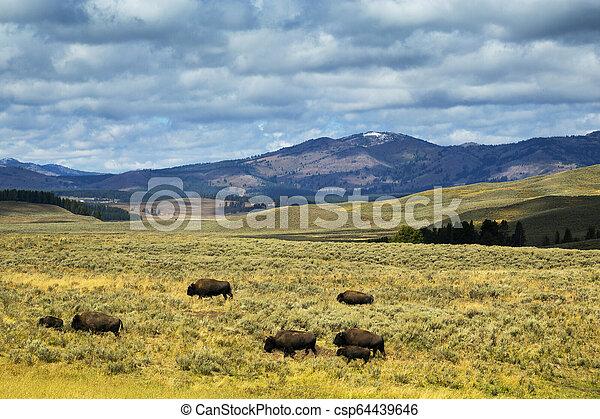 Bison in Hayden Flats, Yellowstone National Park, Wyoming - csp64439646