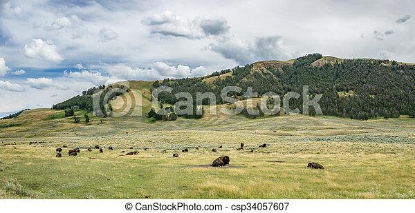 Bison in Lamar Valley - csp34057607