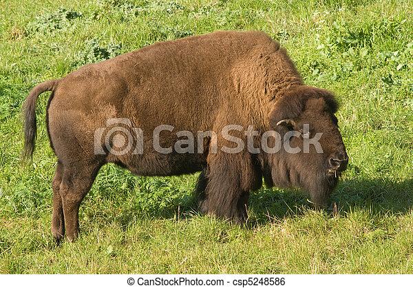 Bison in San Francisco's Golden Gate park - csp5248586