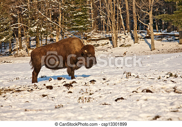 Bison in the snow - csp13301899