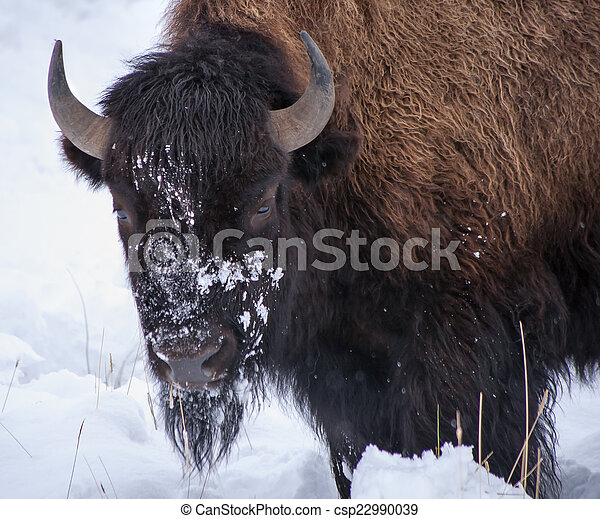 Bison in the Snow - csp22990039