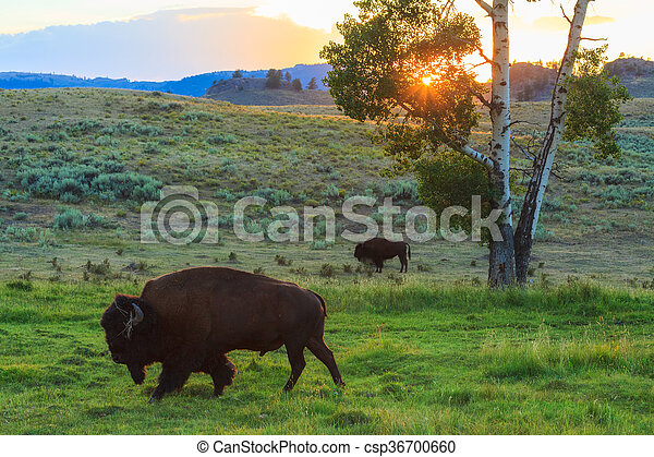 Bison in Yellowstone National Park - csp36700660