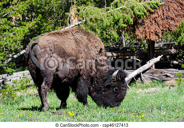 bison in Yellowstone - csp46127413