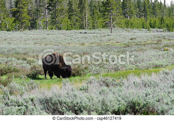 bison in Yellowstone - csp46127419