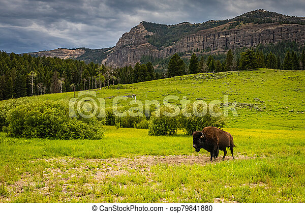 Bison in Yellowstone - csp79841880