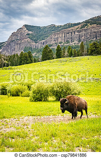 Bison in Yellowstone - csp79841886