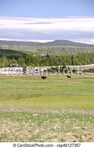 bison in Yellowstone - csp46127367