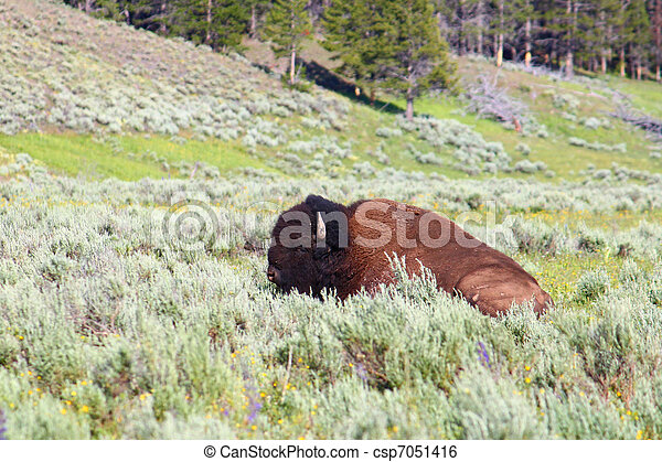 Bison in Yellowstone - csp7051416