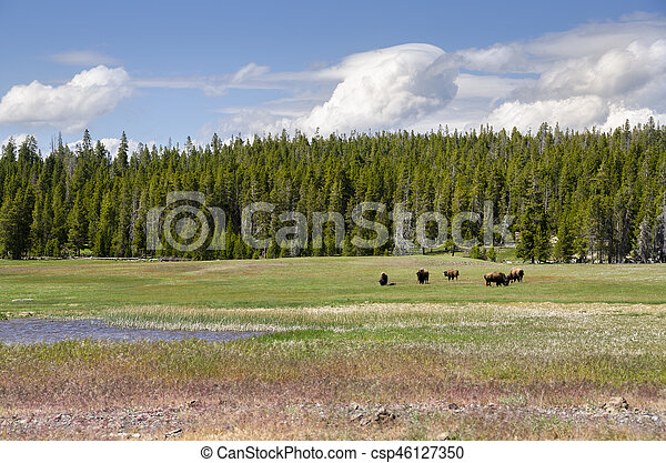bison in Yellowstone - csp46127350