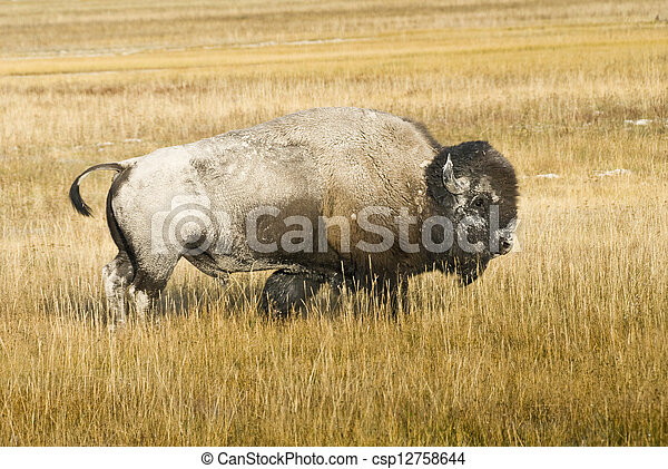 Bison in Yellowstone - csp12758644