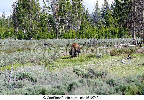 bison in Yellowstone - csp46127424