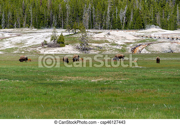 bison in Yellowstone - csp46127443
