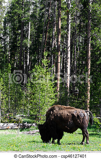 bison in Yellowstone - csp46127401
