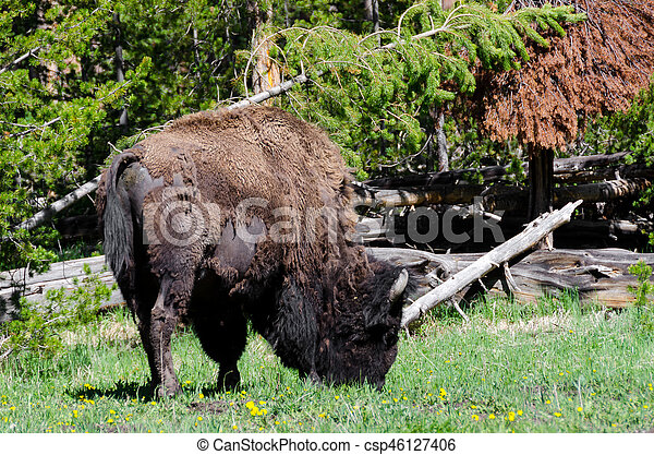 bison in Yellowstone - csp46127406