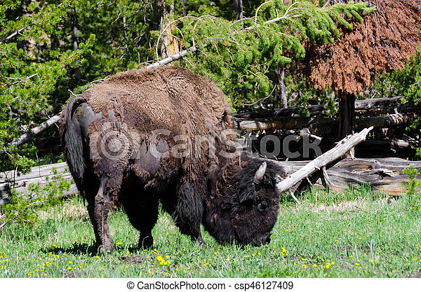 bison in Yellowstone - csp46127409