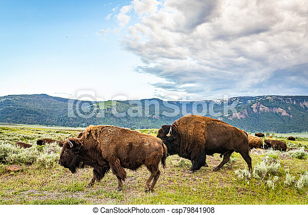 Bison in Yellowstone - csp79841908