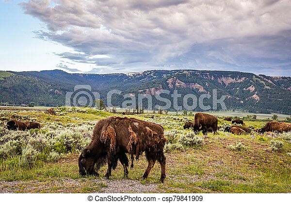 Bison in Yellowstone - csp79841909