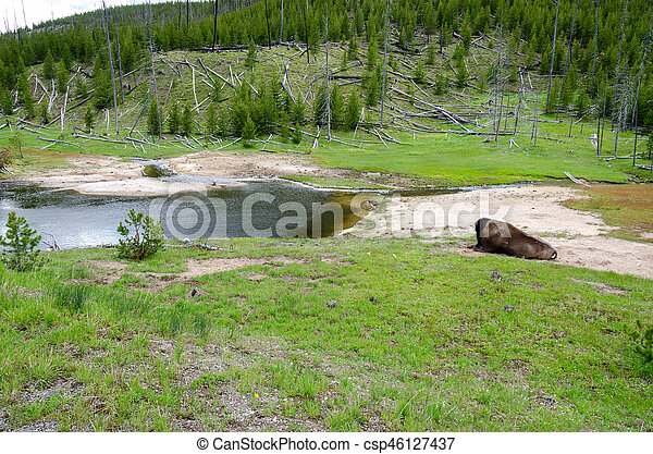 bison in Yellowstone - csp46127437