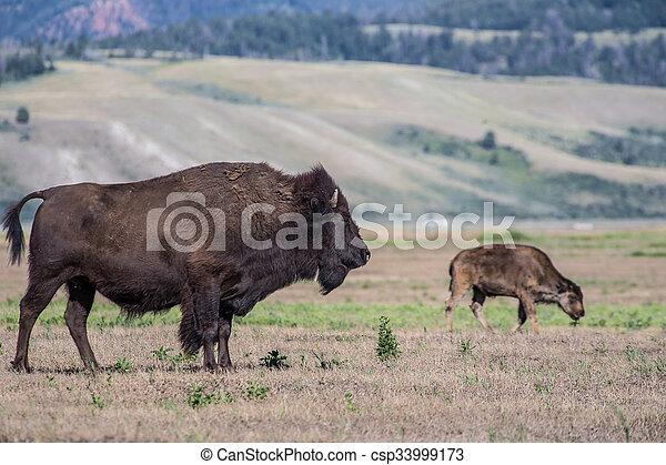 Bison - csp33999173