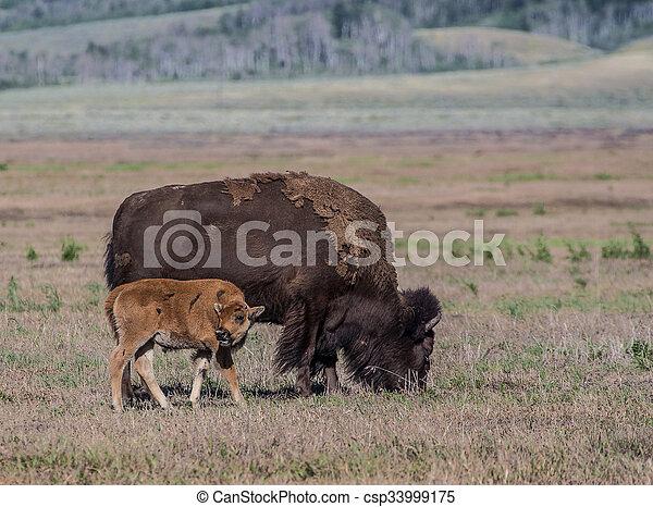 Bison - csp33999175