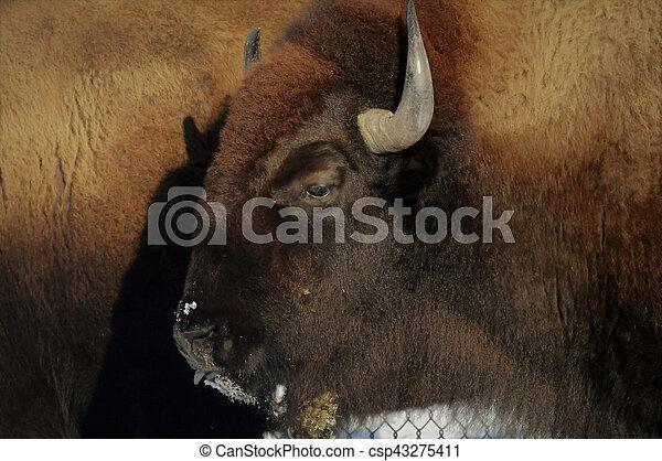 Bison - csp43275411