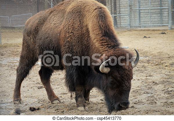 Bison - csp45413770