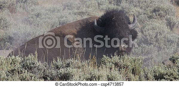 Bison - csp4713857
