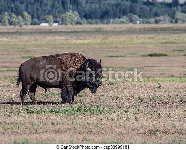 Bison - csp33999181