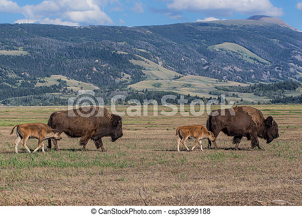 Bison - csp33999188