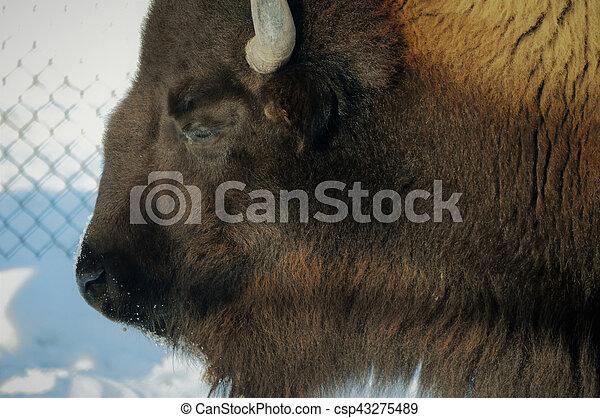 Bison - csp43275489