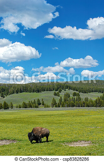 Bison standing in a field in Yellowstone National Park, Wyoming - csp83828286